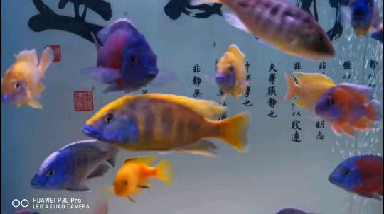大黄鱼 西安观赏鱼信息 西安博特第1张