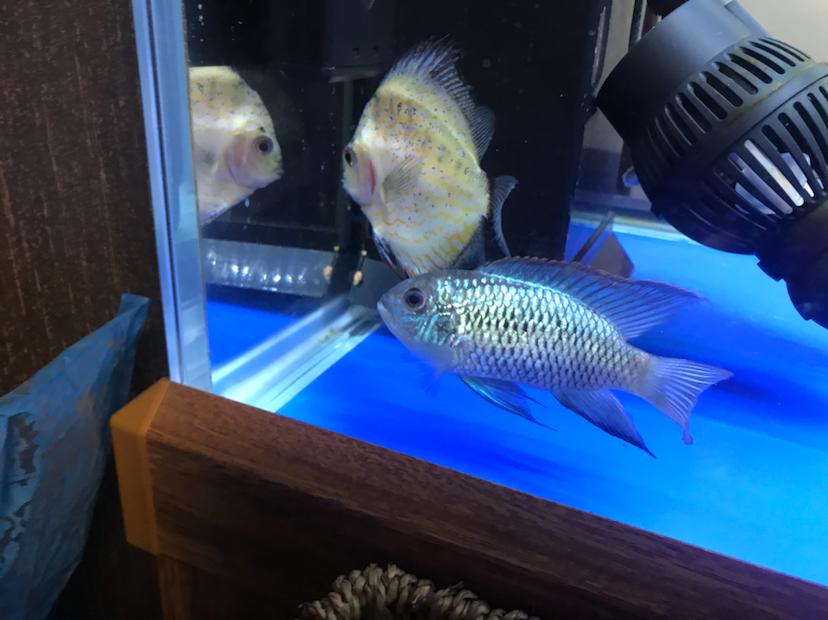 各位大神请大家帮我看看我的鱼怎么样? 西安龙鱼论坛 西安博特第1张