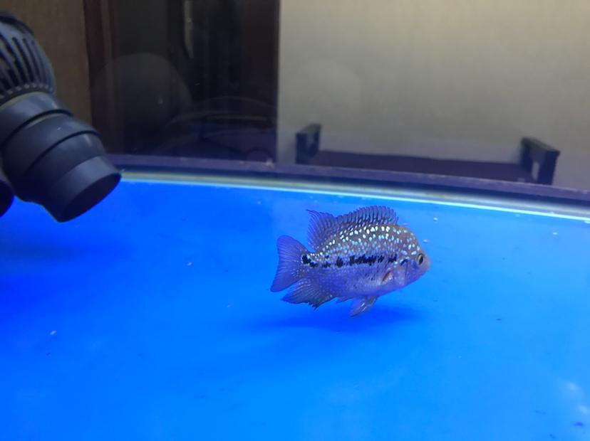 各位大神请大家帮我看看我的鱼怎么样? 西安龙鱼论坛 西安博特第5张
