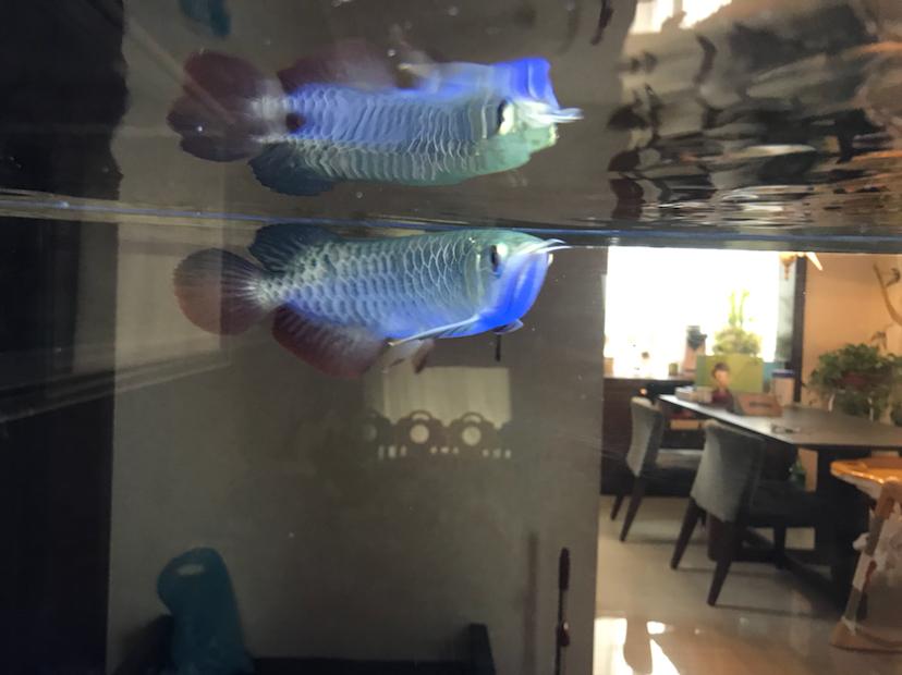 各位大神请大家帮我看看我的鱼怎么样? 西安龙鱼论坛 西安博特第7张
