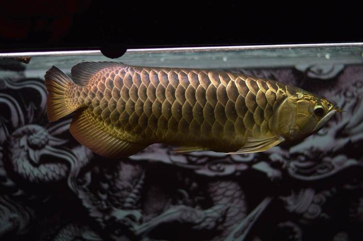 养了四年的金龙 西安观赏鱼信息 西安博特第2张