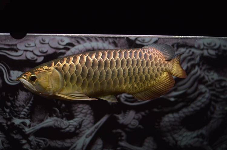 养了四年的金龙 西安观赏鱼信息 西安博特第1张