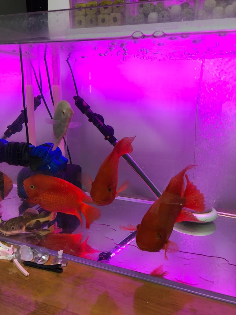 【西安细线银板鱼价格】新手请教大神们问题 西安观赏鱼信息 西安博特第2张