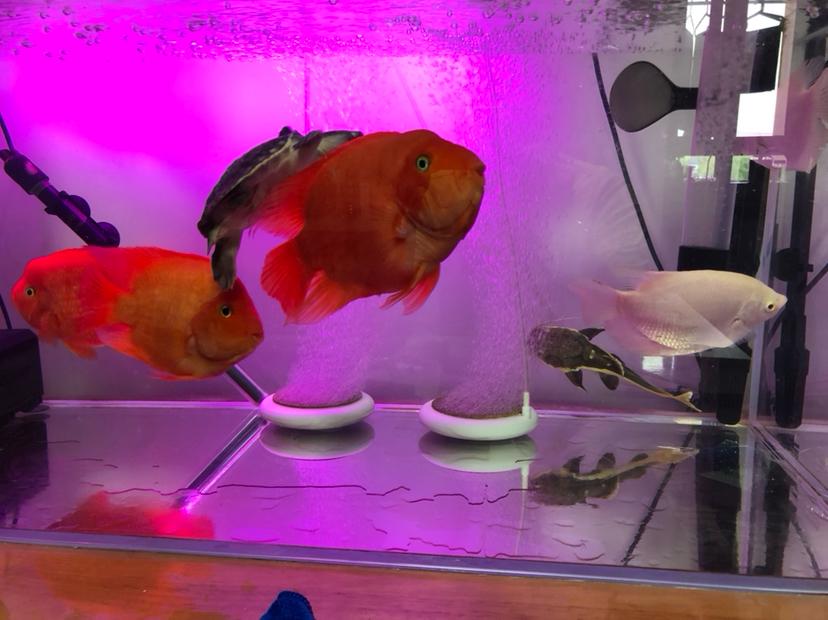 【西安细线银板鱼价格】新手请教大神们问题 西安观赏鱼信息 西安博特第3张