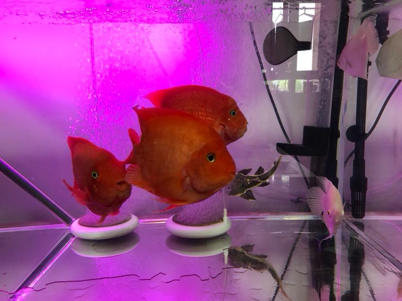 【西安细线银板鱼价格】新手请教大神们问题 西安观赏鱼信息 西安博特第4张
