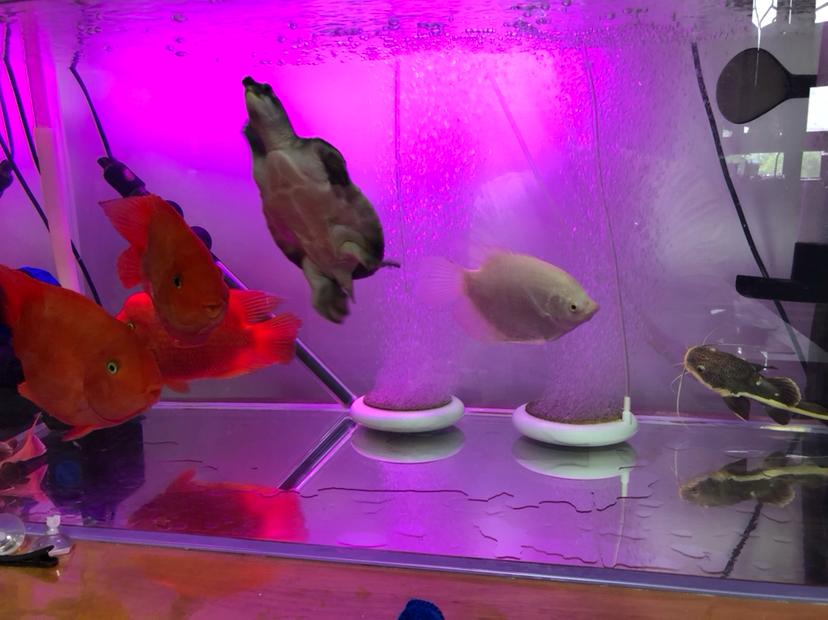 【西安细线银板鱼价格】新手请教大神们问题 西安观赏鱼信息 西安博特第5张