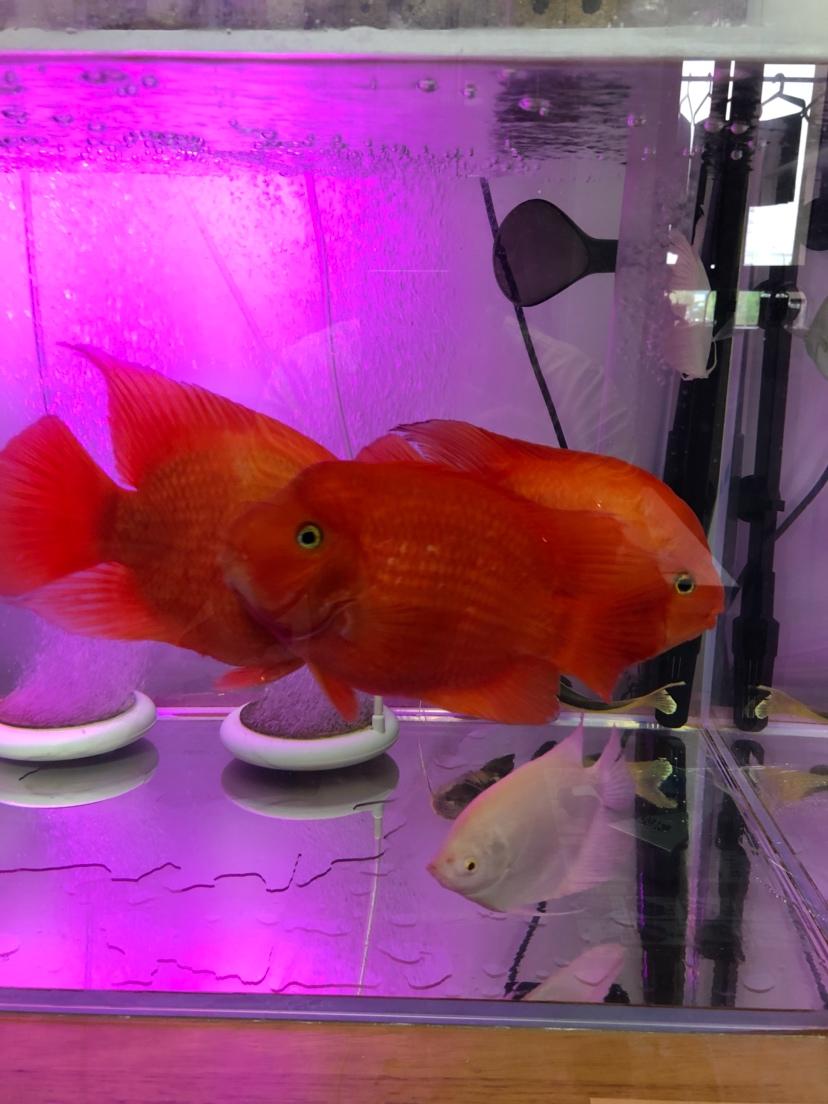 【西安细线银板鱼价格】新手请教大神们问题 西安观赏鱼信息 西安博特第7张