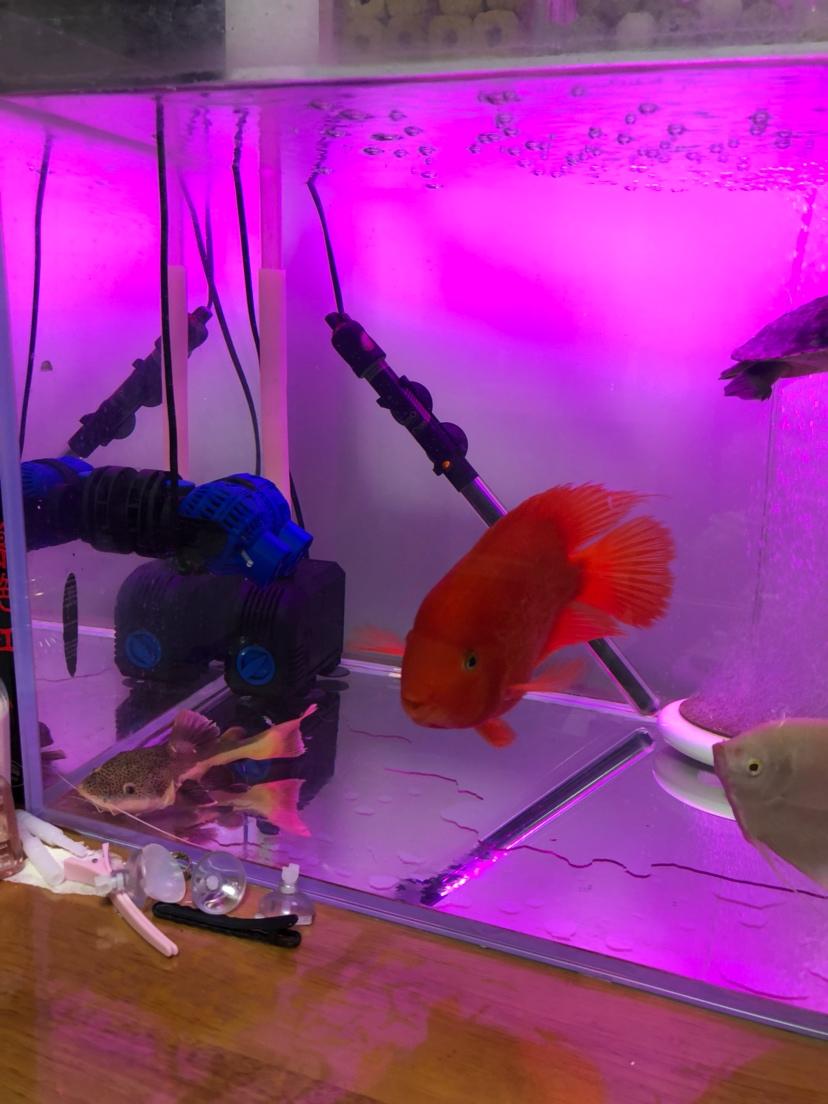 【西安细线银板鱼价格】新手请教大神们问题 西安观赏鱼信息 西安博特第6张