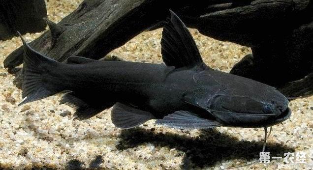 【西安细线银板鱼价格】新手请教大神们问题 西安观赏鱼信息 西安博特第8张