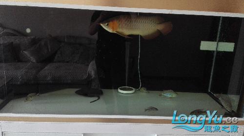 我三年的鱼还能长大吗? 西安龙鱼论坛 西安博特第2张