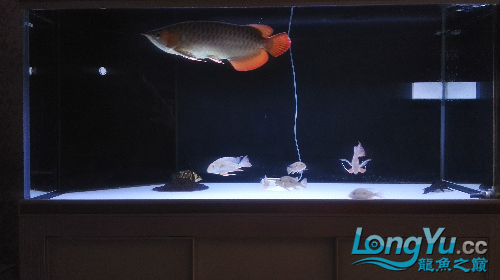 我三年的鱼还能长大吗? 西安龙鱼论坛 西安博特第4张