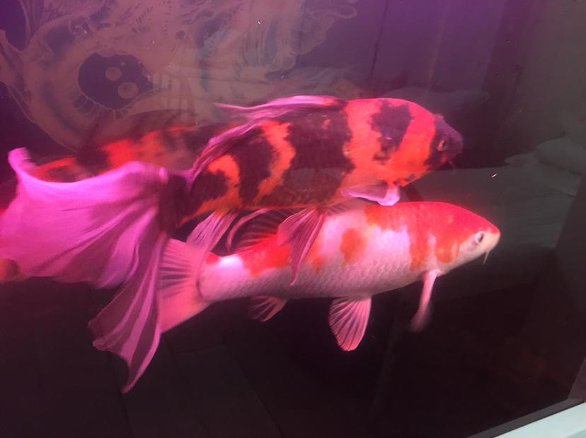 【西安直纹飞凤鱼】介绍下种类谢谢 西安龙鱼论坛 西安博特第3张