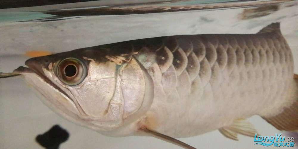 【西安鱼缸上门服务】金龙鱼鳃盖鱼鱼眼边缘变绿是怎么回事? 西安龙鱼论坛 西安博特第1张
