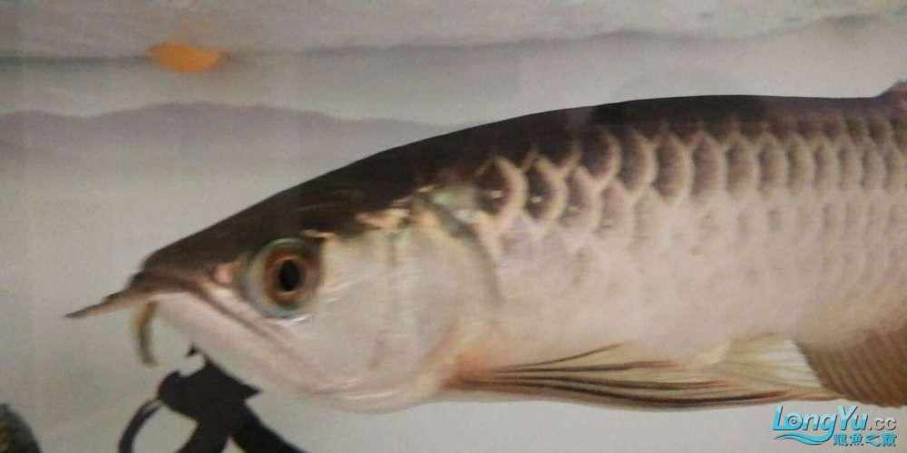 【西安鱼缸上门服务】金龙鱼鳃盖鱼鱼眼边缘变绿是怎么回事? 西安龙鱼论坛 西安博特第2张