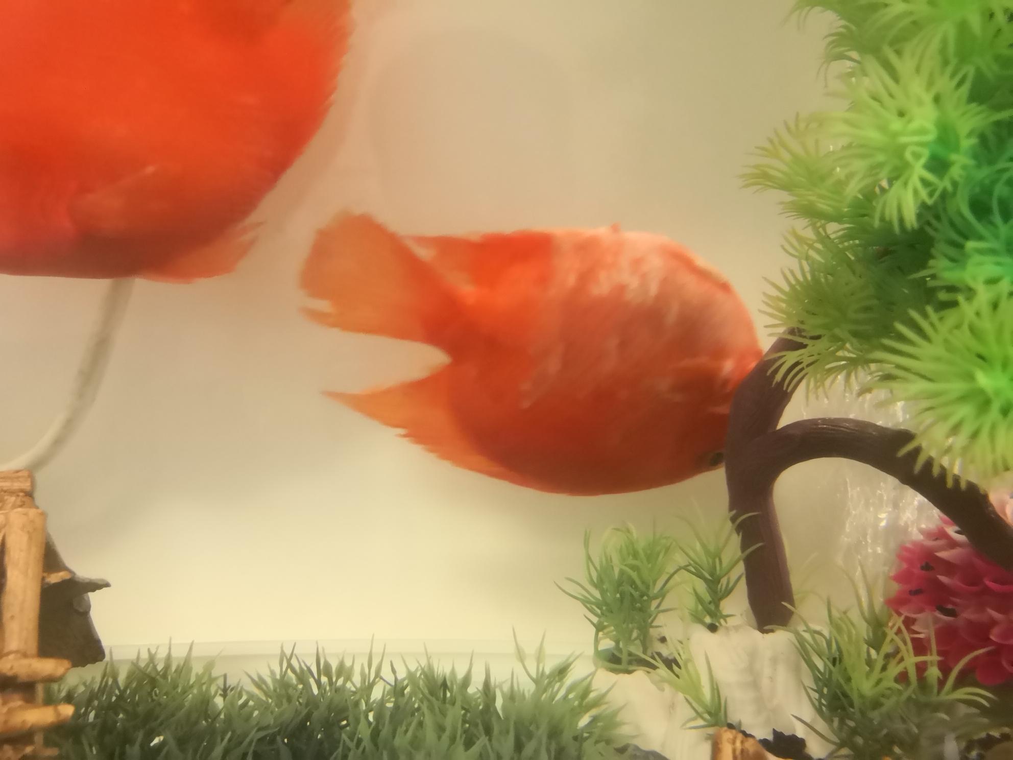 鹦鹉鱼翻白没法控制正立在水里飘着翻 西安龙鱼论坛 西安博特第1张