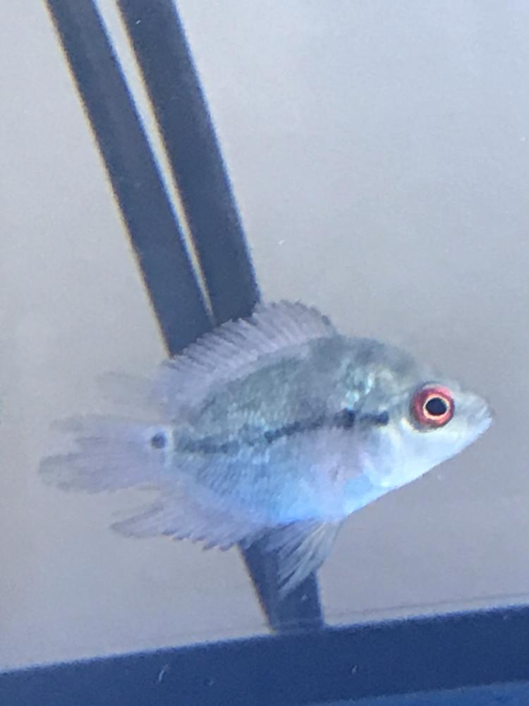 大家帮我看看鸿运罗汉鱼苗的尾巴是怎么了? 西安观赏鱼信息 西安博特第2张