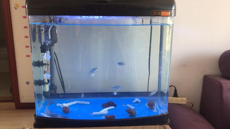 大家帮我看看鸿运罗汉鱼苗的尾巴是怎么了? 西安观赏鱼信息 西安博特第1张