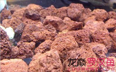 罗汉鱼的火山石如何辨别真假呢? 西安龙鱼论坛 西安博特第4张