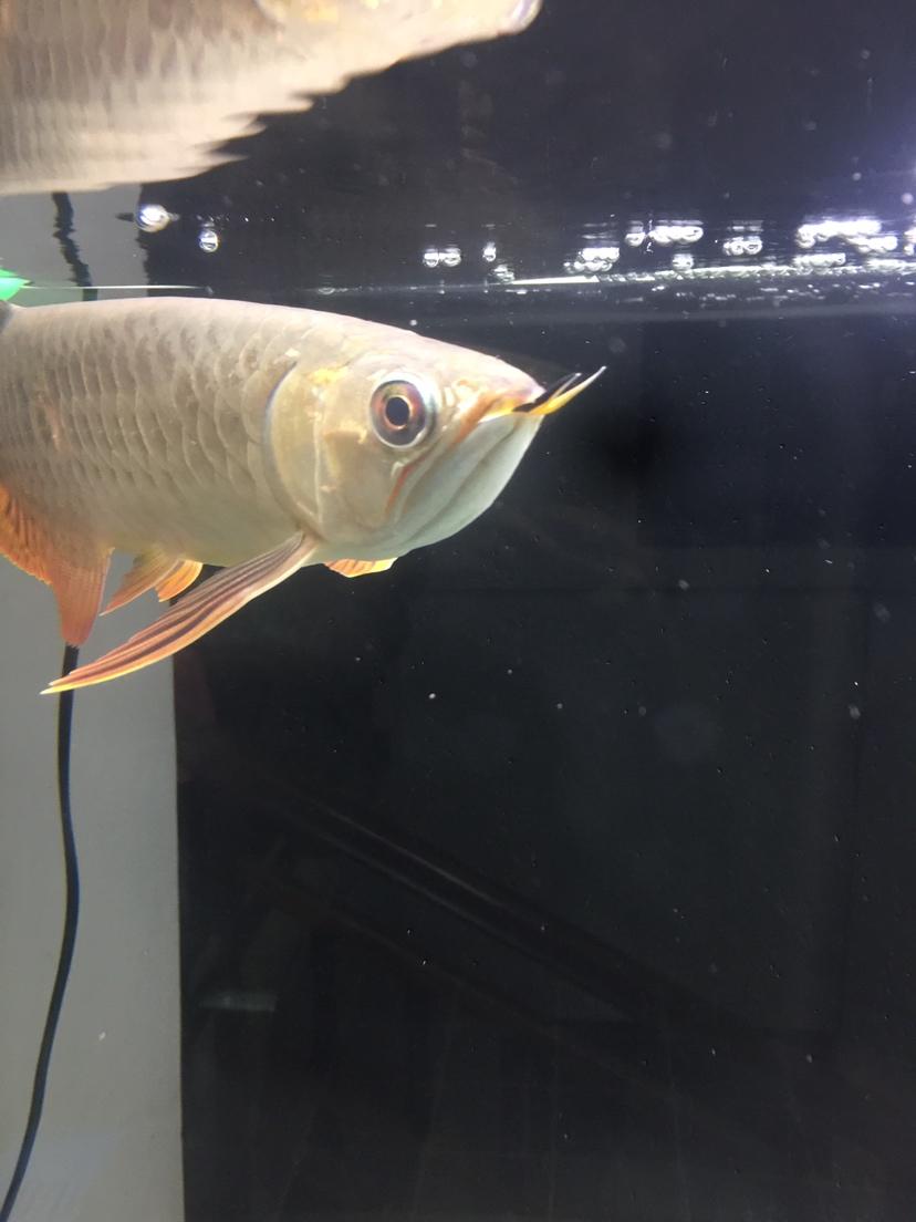 【西安金龙】金龙鱼腮盖裂开了 西安龙鱼论坛 西安博特第2张