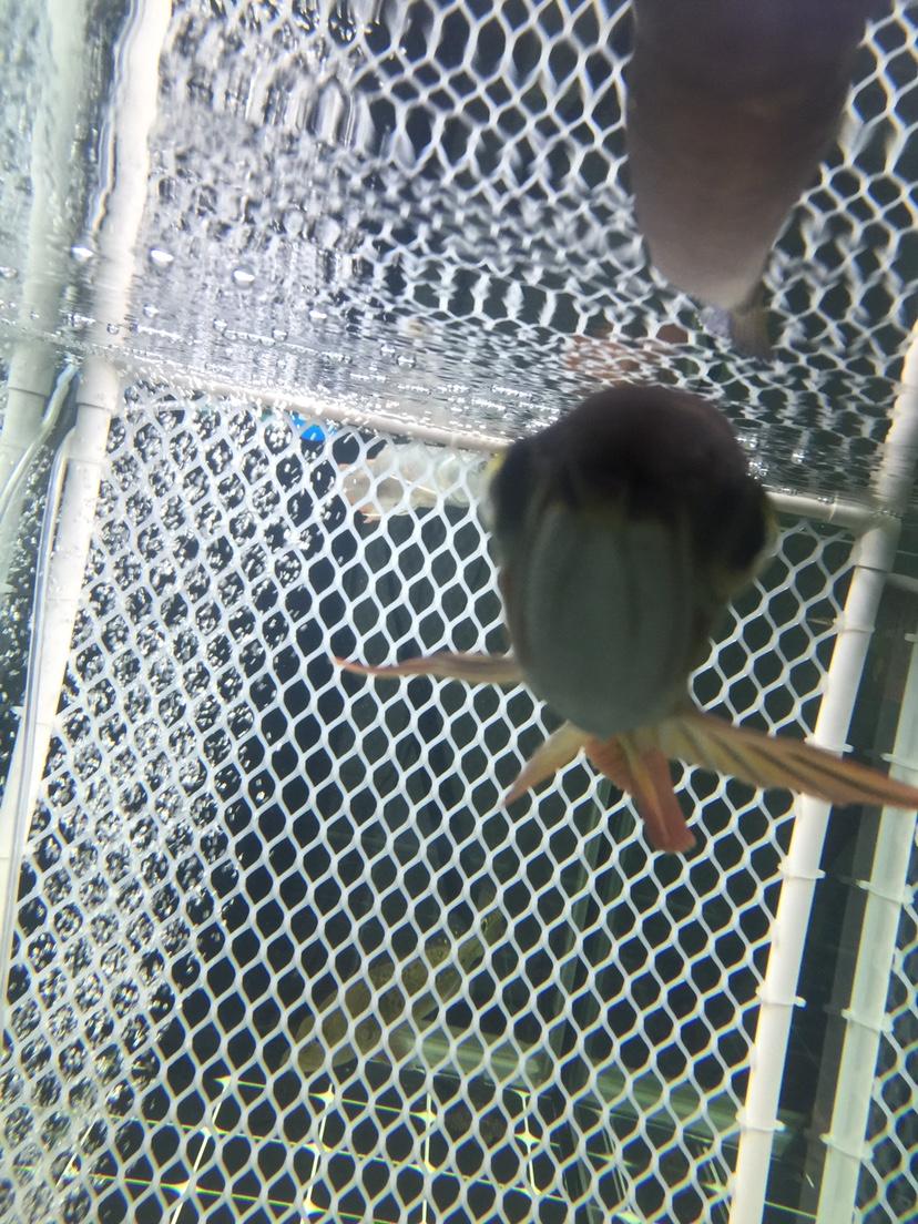 【西安金龙】金龙鱼腮盖裂开了 西安龙鱼论坛 西安博特第4张