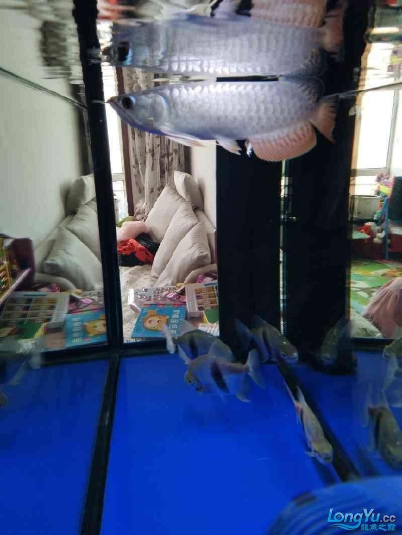 【西安帝王魟鱼】3年养鱼生涯 西安龙鱼论坛 西安博特第1张