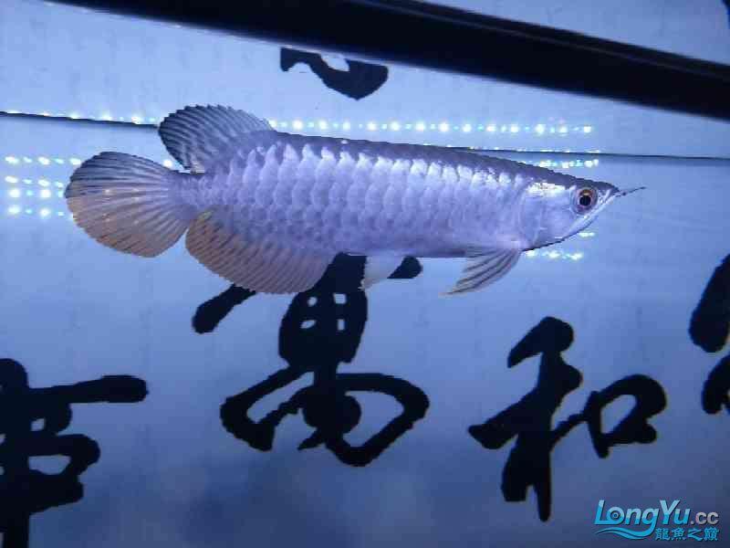 【西安帝王魟鱼】3年养鱼生涯 西安龙鱼论坛 西安博特第4张