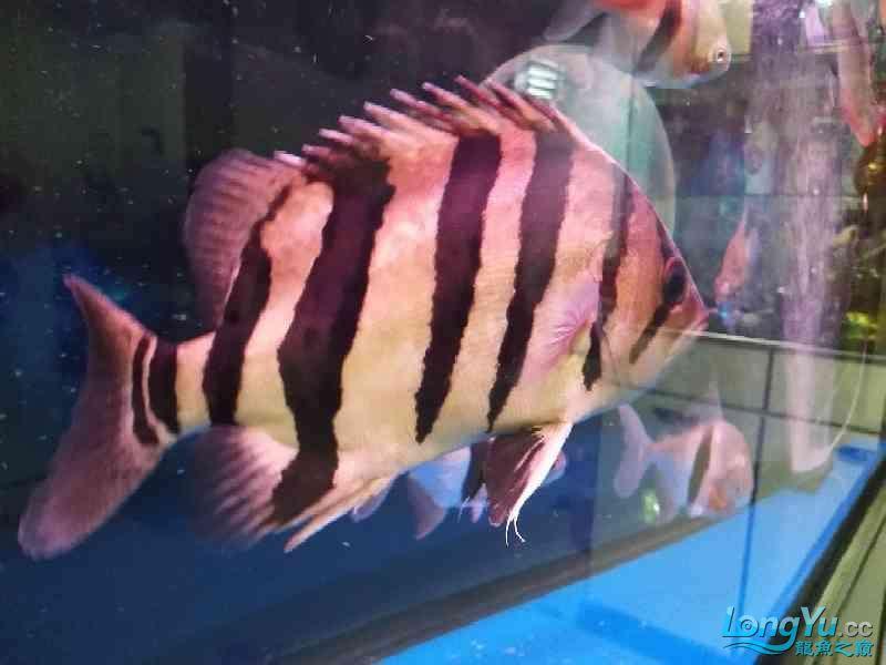 【西安帝王魟鱼】3年养鱼生涯 西安龙鱼论坛 西安博特第5张