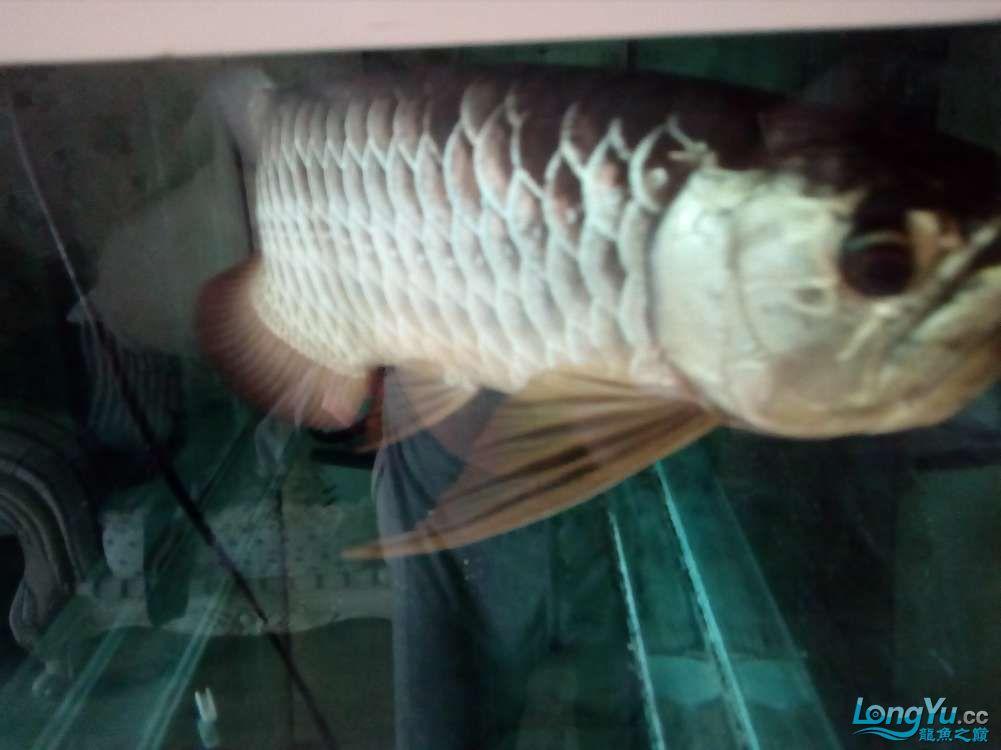 【西安高品质泰金罗汉鱼】因本人将去外地工作爱宠无暇照顾特此转让给有缘人 西安观赏鱼信息 西安博特第3张