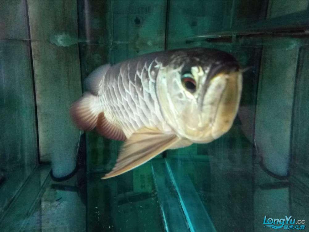 【西安高品质泰金罗汉鱼】因本人将去外地工作爱宠无暇照顾特此转让给有缘人 西安观赏鱼信息 西安博特第4张