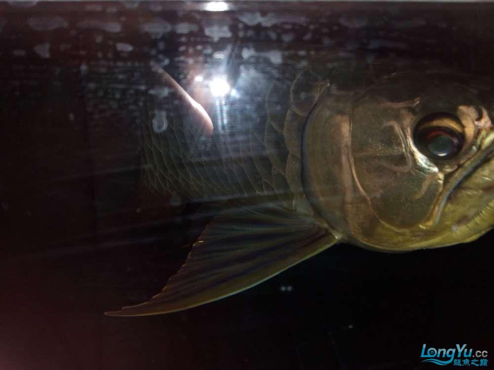 【西安高品质泰金罗汉鱼】因本人将去外地工作爱宠无暇照顾特此转让给有缘人 西安观赏鱼信息 西安博特第5张