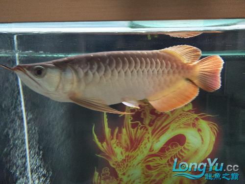 【西安印尼小红龙】龙鱼到家两个月了看看怎么样