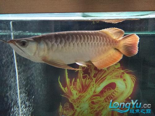 【西安印尼小红龙】龙鱼到家两个月了看看怎么样 西安龙鱼论坛 西安博特第2张