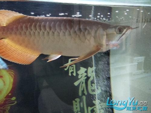 【西安印尼小红龙】龙鱼到家两个月了看看怎么样 西安龙鱼论坛 西安博特第7张