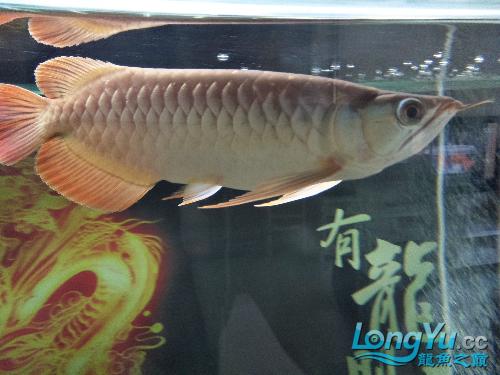 【西安印尼小红龙】龙鱼到家两个月了看看怎么样 西安龙鱼论坛 西安博特第8张