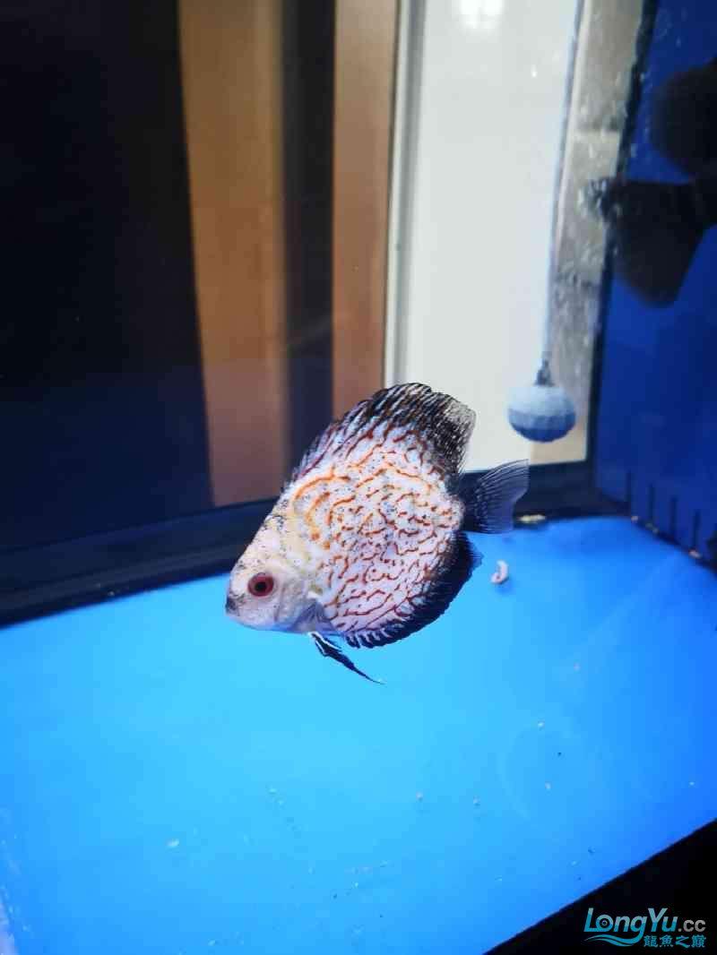 鱼缸水很清但鱼身上时不时有水霉病怎么处理? 西安龙鱼论坛 西安博特第2张
