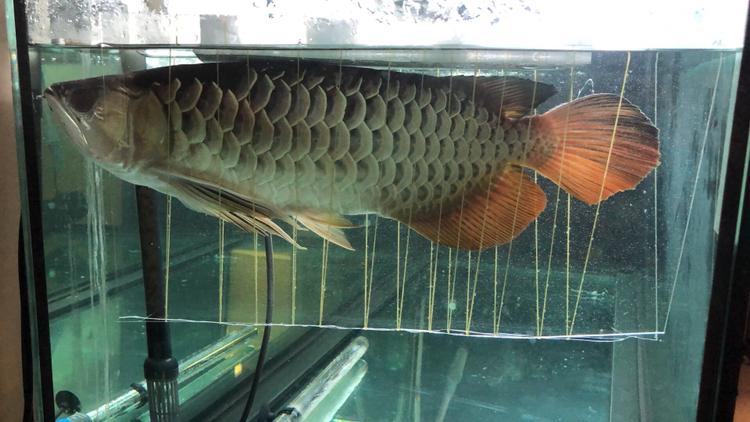 【西安福满钻观赏鱼】金龙吃大麦虫的时候撞缸翻肚了