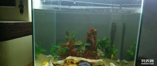 【西安黑帝王魟鱼】又折腾了还是不隔开漂亮