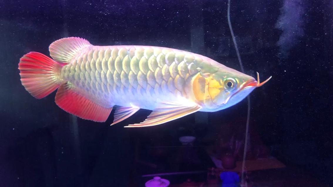 【西安金龙鱼】不同色彩的表现