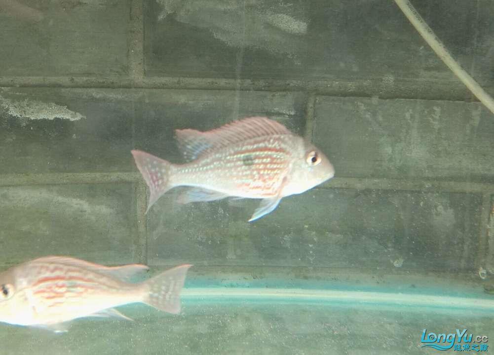 【西安血艳孔雀龙苗】还有像我这样玩的吗 西安龙鱼论坛 西安博特第3张