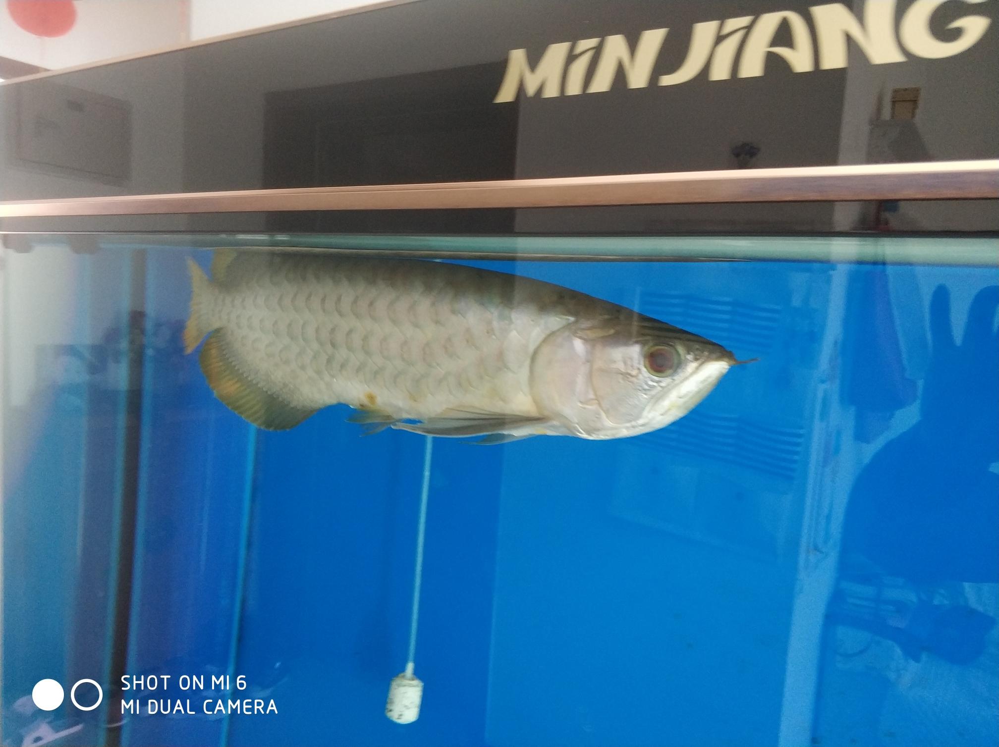 【西安白化大白鲨】时间证明了真假 西安龙鱼论坛 西安博特第1张