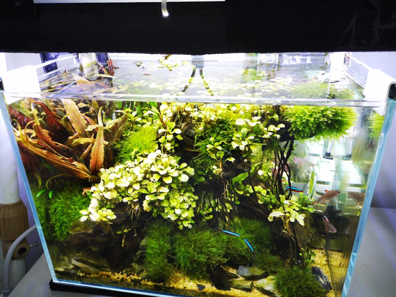 【西安祥龙鱼缸】坐月子中两个35小草缸一个新开