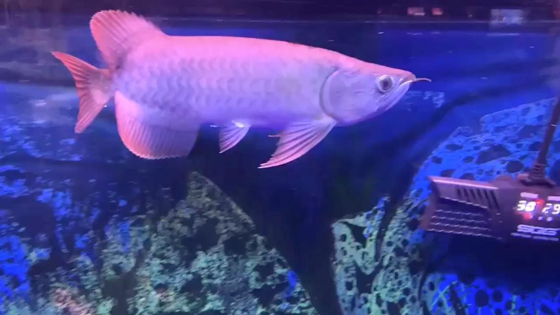 【西安可丽爱水族馆】从小鱼苗慢慢养饥饿式饲养