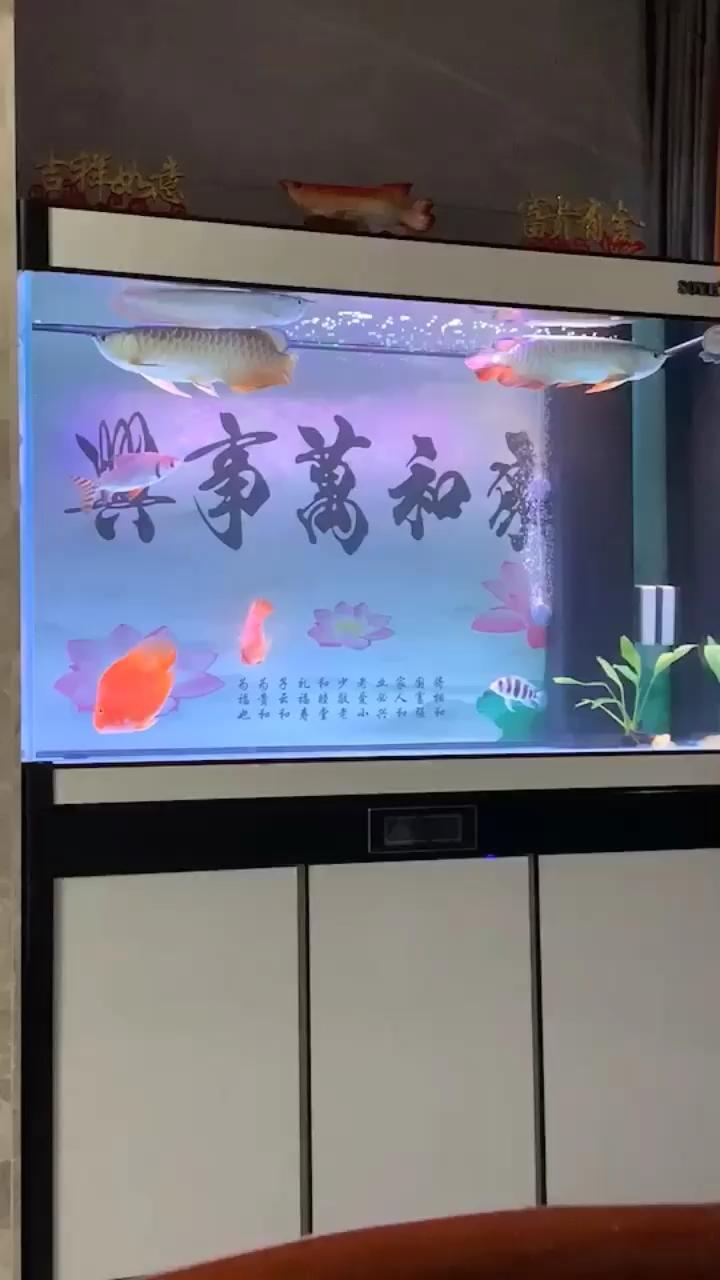 【西安皇冠魟鱼】宅家换水看鱼