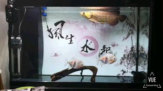 【西安泰北虎苗】我两岁了 西安观赏鱼信息 西安博特第1张