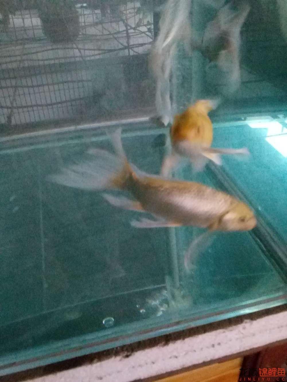 【西安白子关刀鱼】新年新鱼新开缸