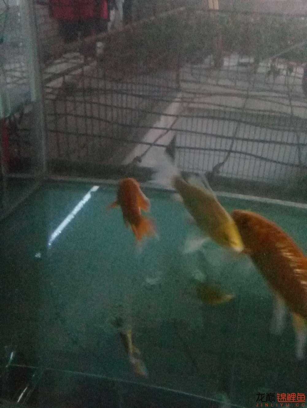 【西安白子关刀鱼】新年新鱼新开缸 西安龙鱼论坛 西安博特第2张