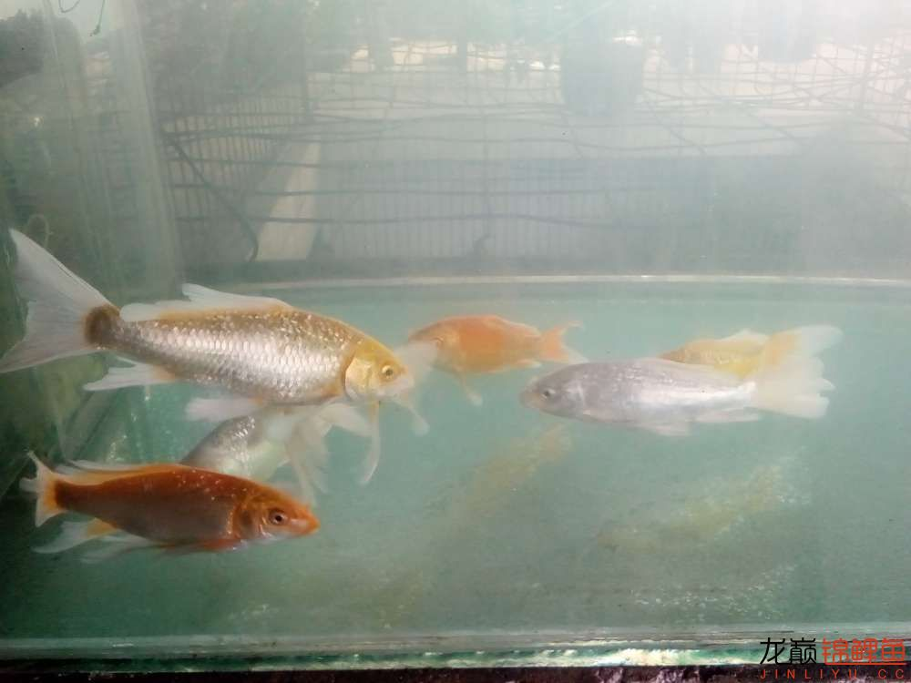 【西安白子关刀鱼】新年新鱼新开缸 西安龙鱼论坛 西安博特第3张