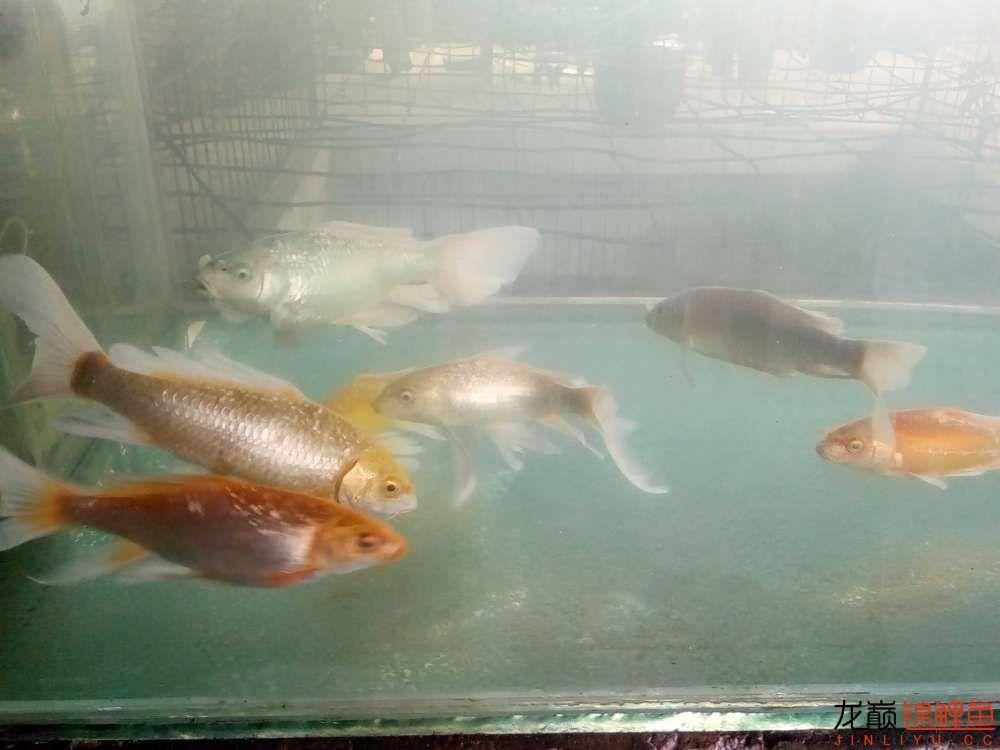 【西安白子关刀鱼】新年新鱼新开缸 西安龙鱼论坛 西安博特第4张