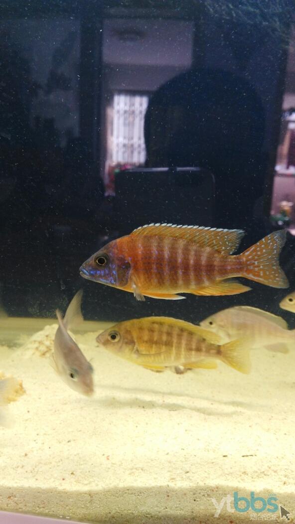 【西安白子关刀鱼】新年新鱼新开缸 西安龙鱼论坛 西安博特第6张