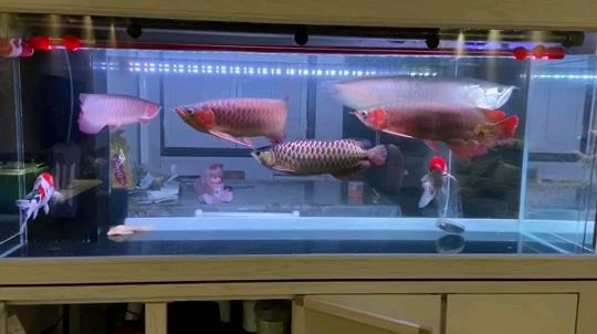 马印神灯效果 西安观赏鱼信息 西安博特第1张